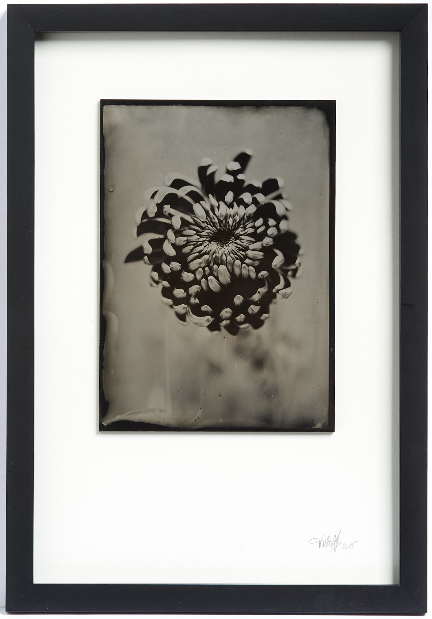 Chrysantheme Kollodium Nassplatte, Wet Plate