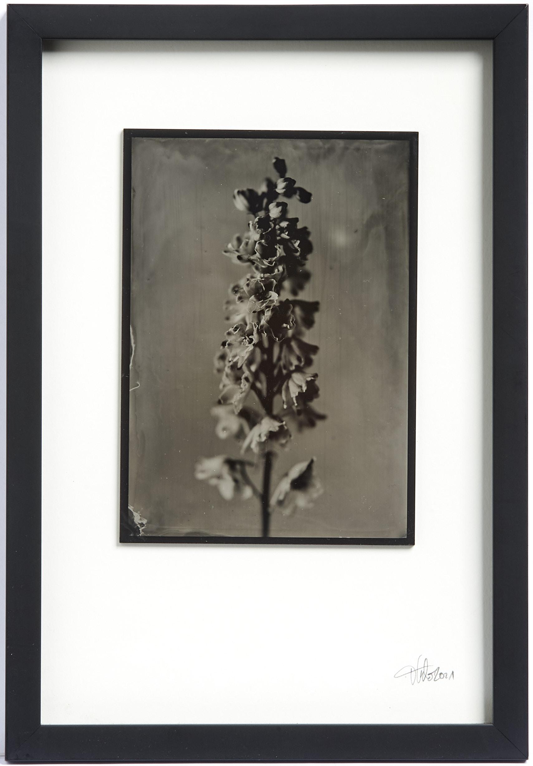 Rittersporn Kollodium Nassplatte, Wet Plate