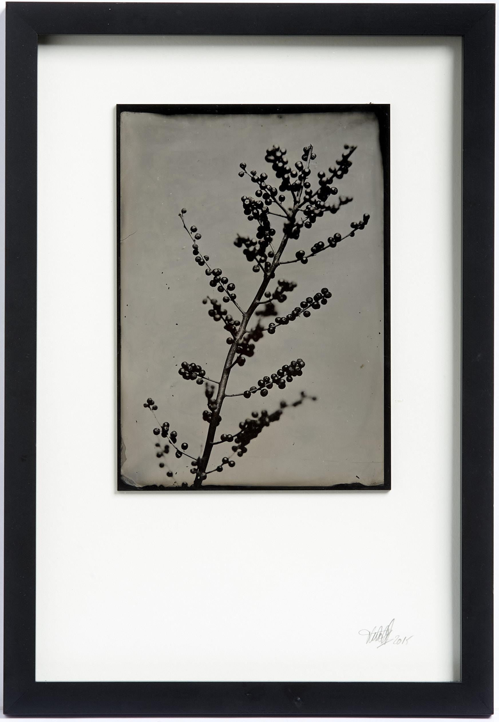Stechpalme Kollodium Nassplatte, Wet Plate